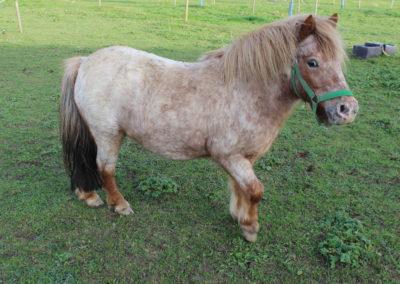 Chico l'un des poney shetland