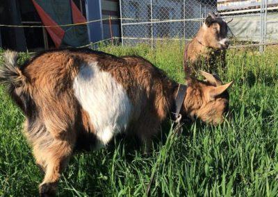 Max et Bico nos deux chèvres