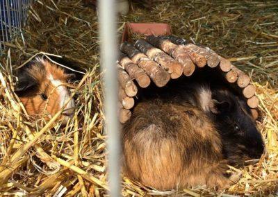 Sieste pour les cochons d'Inde