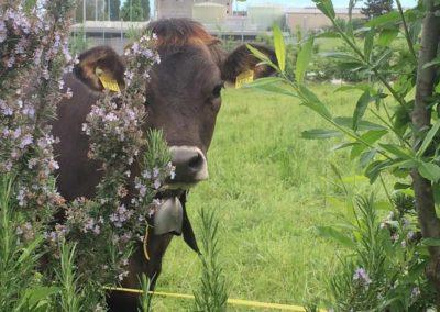 Fabiola la vache nous observe depuis derrière la haie