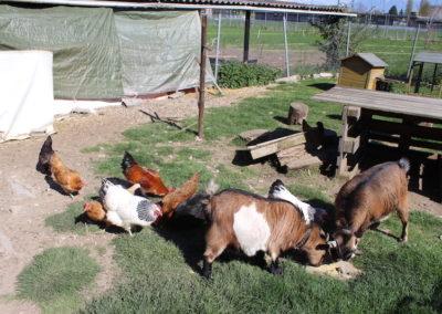 L'enclos des chèvres et poules.