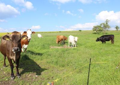 Nos vaches dans leur pré
