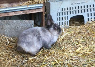 Un lapin nain gris dans son enclos.