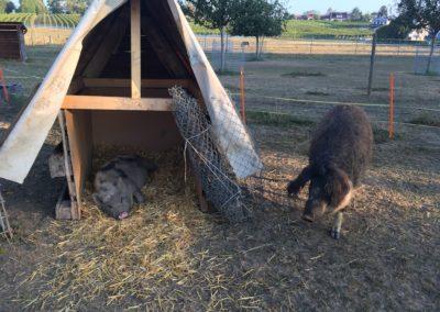 Doudou le cochon laineux faisant connaissance avec Tupf le cochon nain